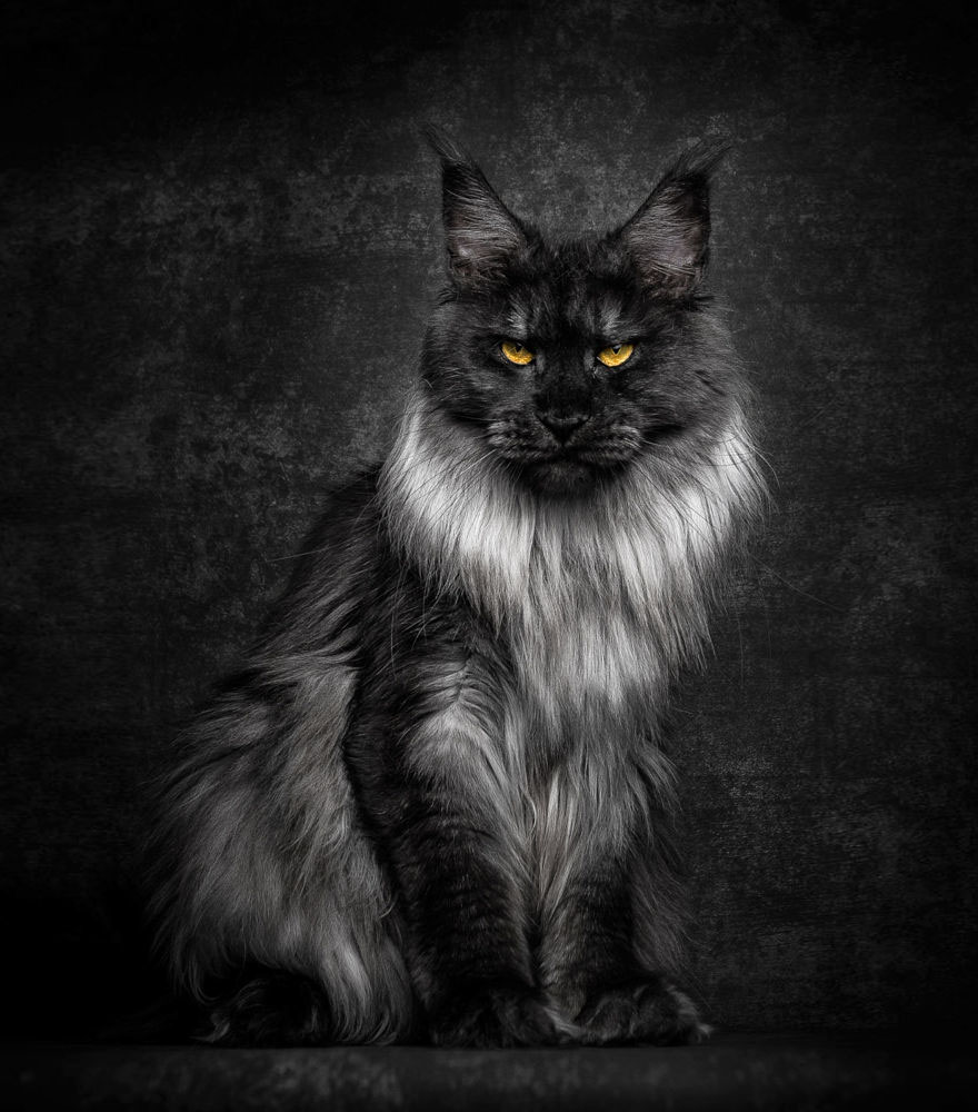 Image result for dark grey maine coon